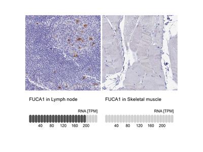 Anti-FUCA1 Antibody