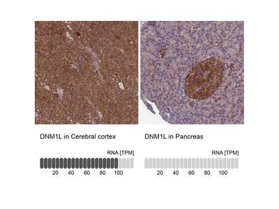 Anti-DNM1L Antibody
