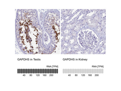 Anti-GAPDHS Antibody