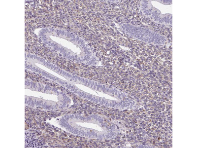 Anti-SULF1 Antibody