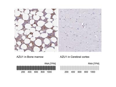 Anti-AZU1 Antibody