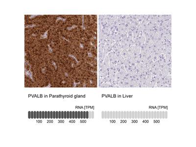 Anti-PVALB Antibody
