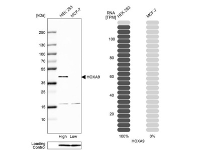 Anti-HOXA9 Antibody