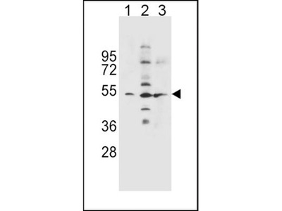 Rabbit Polyclonal SLC36A1 Antibody