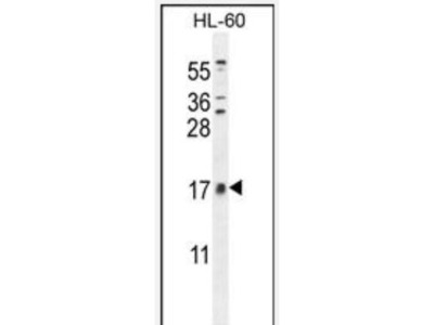 Rabbit Polyclonal CNIH2 Antibody