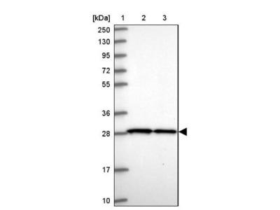 SLC25A45 Antibody