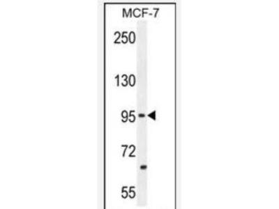 PCDH20 Antibody (RB31527)