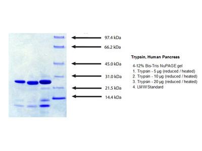 Trypsin, Human Pancreas