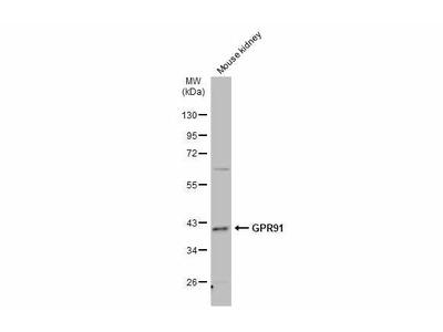 GPR91 Polyclonal Antibody