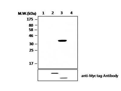 PCPTP1 Monoclonal Antibody (T10-AF4H11)
