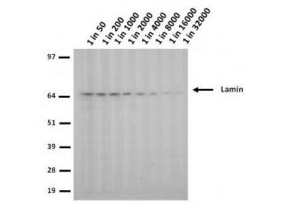 Lamin A/C (mutant 453W) Monoclonal Antibody (12A-2F5)