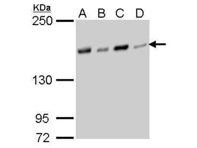 NFKBIL2 Monoclonal Antibody (GT377)
