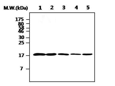 Cofilin Monoclonal Antibody (AF2C2)