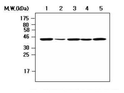 NCK2 Monoclonal Antibody (AF3F11)