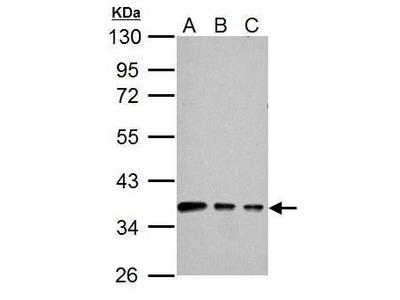 Connexin 40 Polyclonal Antibody