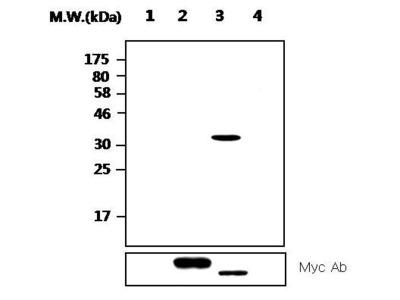 PTPRN Monoclonal Antibody (AFT38)