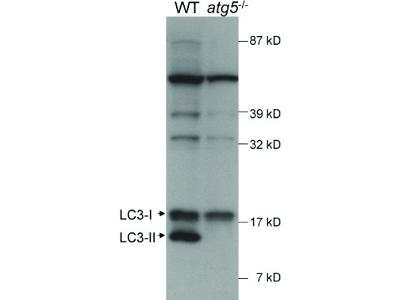 LC3A Antibody [HRP]