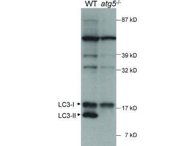 LC3A Antibody [Biotin]