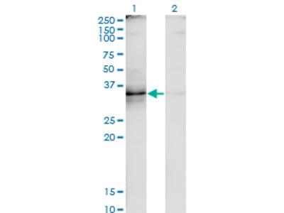 CD30L / CD153 Monoclonal Antibody