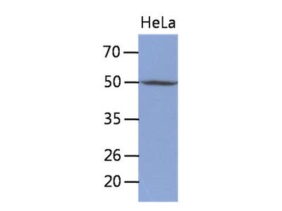 TDG / Thymine DNA Glycosylase Monoclonal Antibody