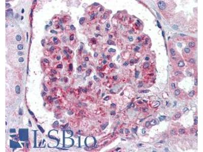 UBC / Ubiquitin C Polyclonal Antibody