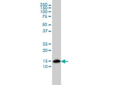 ENSA Monoclonal Antibody