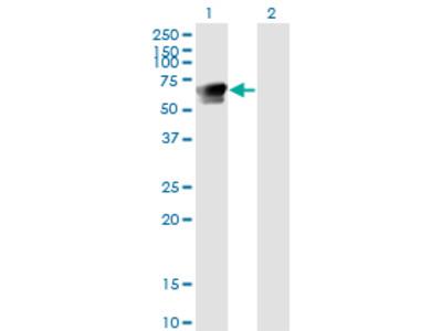 GRB7 Monoclonal Antibody