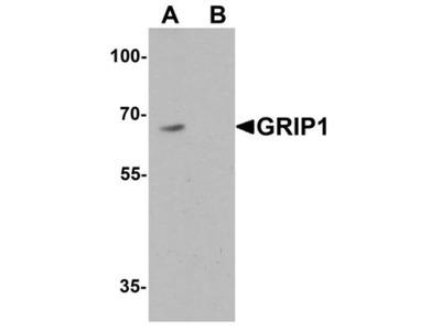 GRIP1 Polyclonal Antibody