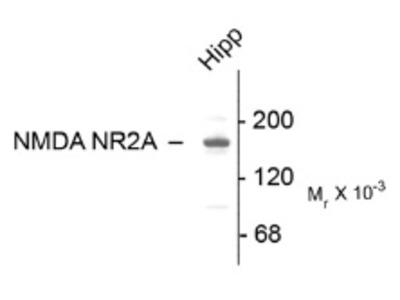 anti NMDA Receptor 2A (C-term)
