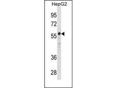 ZNF276 antibody