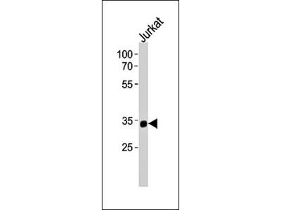 SNAPC2 antibody