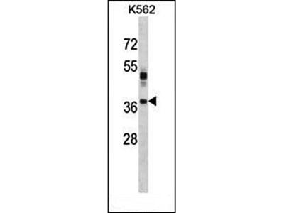 VSX1 antibody