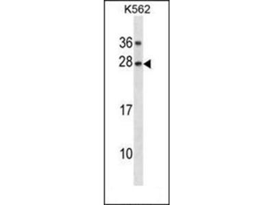 GAR1 antibody