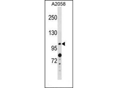 ANO4 antibody