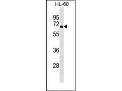 RLIM antibody