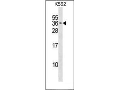 PMF1 antibody
