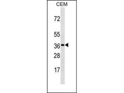 OR3A3 antibody