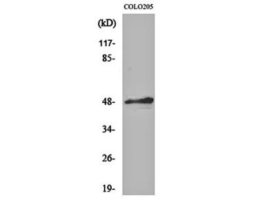 AP-2 alpha/beta antibody