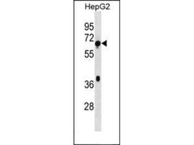 TBC1D3F antibody