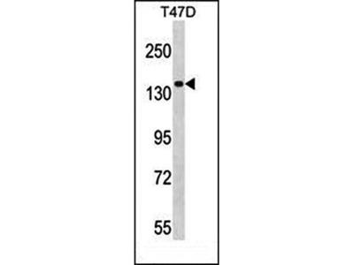 MYO1E antibody