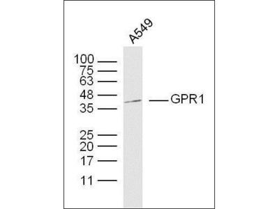 GPR1 antibody