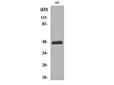 c-Jun (phospho-T93) antibody