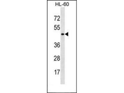 ARMCX4 antibody