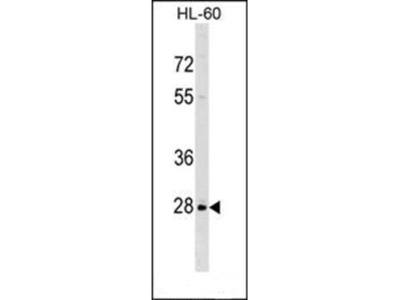 PPIL6 antibody