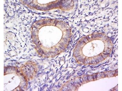 PLEKHA7 antibody