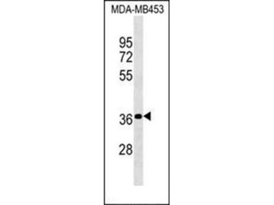 PSG4 antibody