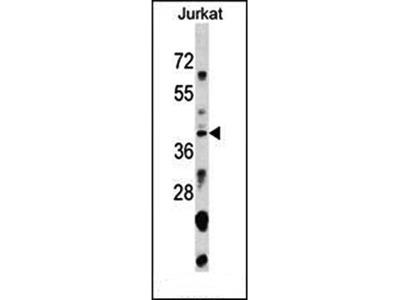 SNAPC1 antibody