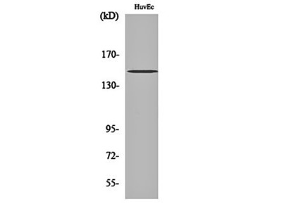 ErbB-3 antibody