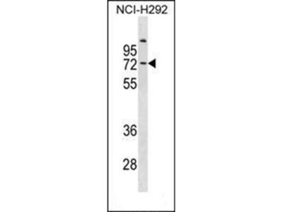 Collagen IX antibody