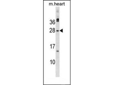 MSC antibody